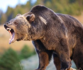 Roar of the male bear Stock Photo