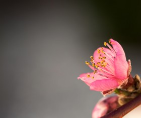 Spring buds HD picture 03