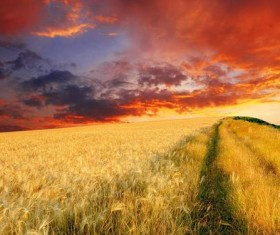 Sunset golden wheat Stock Photo