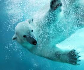 Swim the polar bear Stock Photo