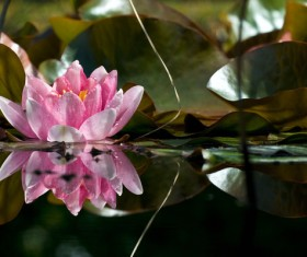 Tender and beautiful pink lotus flower Stock Photo