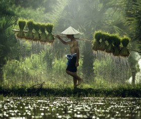 The farmers who are carrying rice seedlings Stock Photo 03