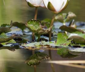 The lotus pond sleeps in full bloom Stock Photo 01