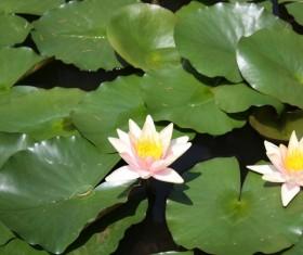 The lotus pond sleeps in full bloom Stock Photo 02
