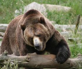 The wild brown bear Stock Photo