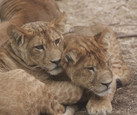 Two lions cubs HD picture