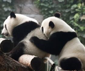 Two pandas play Stock Photo
