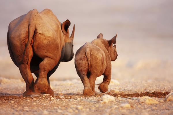Walking rhinoceros Stock Photo