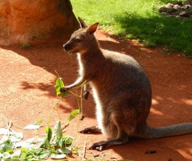 Wallaby HD picture