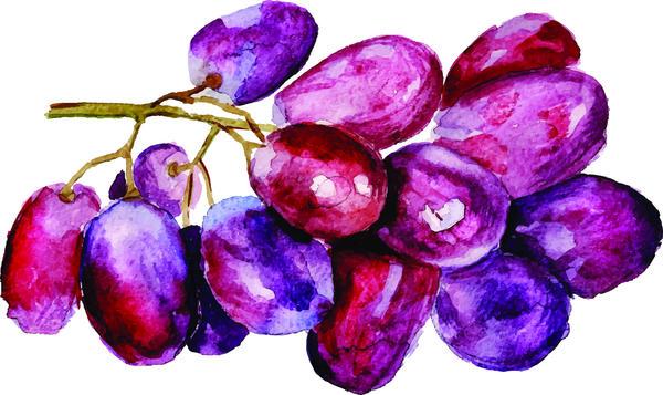 Watercolor grapes vector material