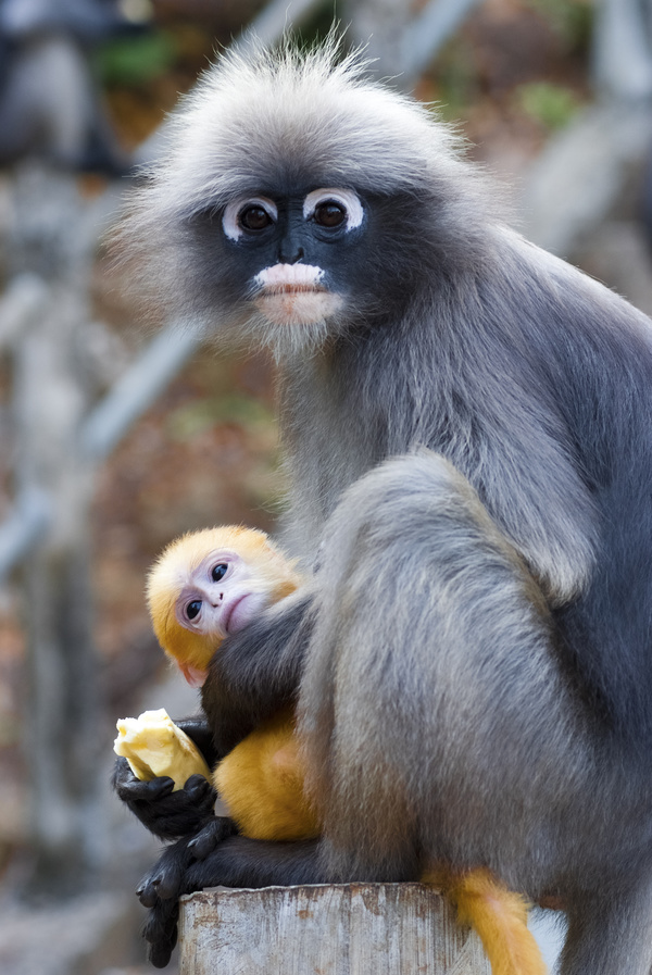 white-headed langur with cubs hd picture