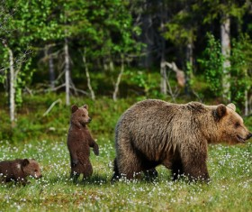 Wild Grizzlies and Cubs Stock Photo