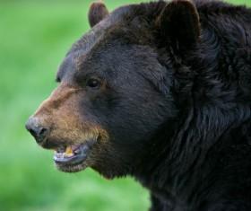 Wild black bear Stock Photo