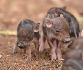 Wild boar cubs HD picture
