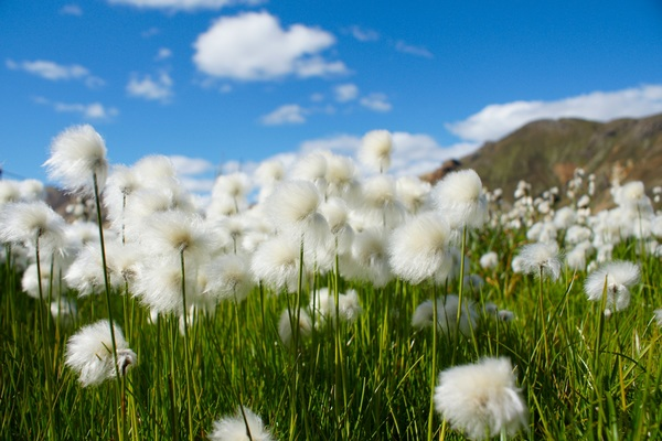 Wind swinging dandelion HD picture