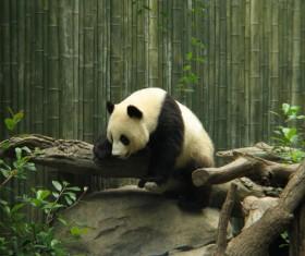 Zoo panda Stock Photo