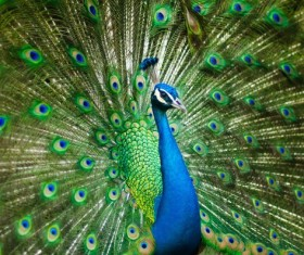 a peacock in his pride Stock Photo