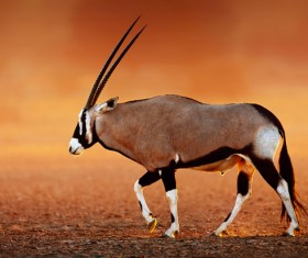 antelope HD picture
