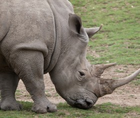 A rhino looking for food Stock Photo