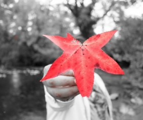 A slice of red maple leaf Stock Photo