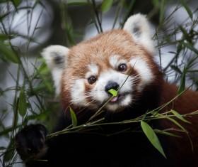 A small panda eating bamboo Stock Photo