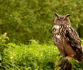Angle owl Stock Photo