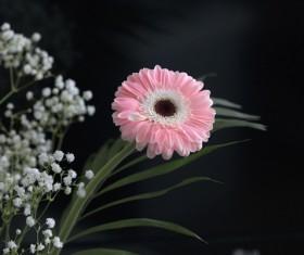 Beautiful flowers gerbera Stock Photo 01