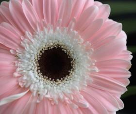 Beautiful flowers gerbera Stock Photo 02