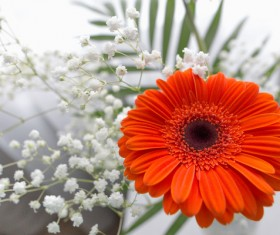 Beautiful flowers gerbera Stock Photo 03