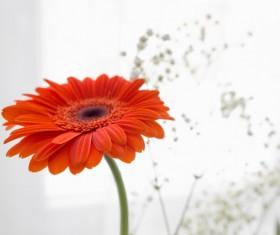 Beautiful flowers gerbera Stock Photo 04