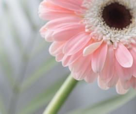 Beautiful flowers gerbera Stock Photo 05