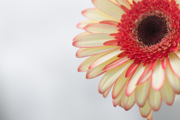Beautiful flowers gerbera Stock Photo 07