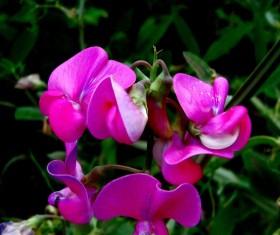 Beautiful pea flower Stock Photo