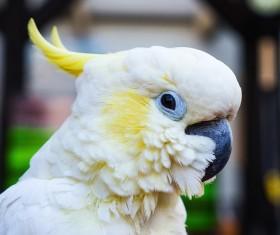 Beautiful white cockatoo Stock Photo