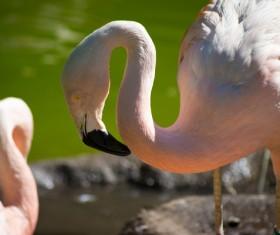 Chile Flamingo Stock Photo