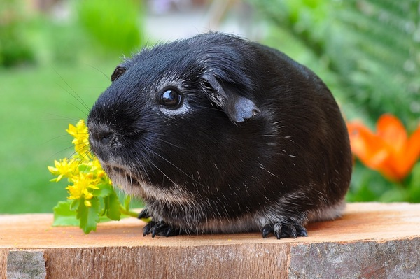 Cute little guinea pig Stock Photo