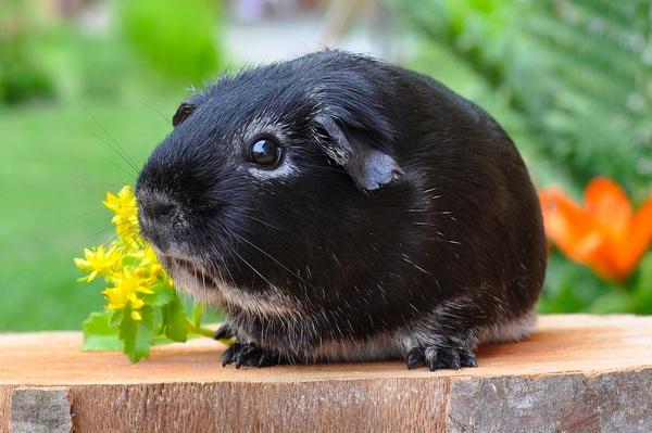 Cute little guinea pig Stock Photo