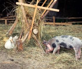 Farm piglets and ducks Stock Photo