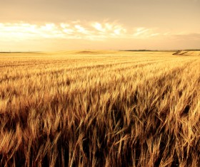 Golden wheat field Stock Photo 01