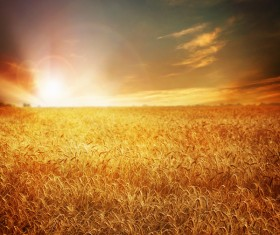 Golden wheat field Stock Photo 02