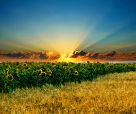 Golden wheat field with sunflower Stock Photo