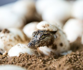 Just hatched out of the small crocodile Stock Photo 01
