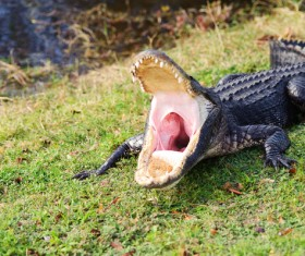 Open mouth of a crocodile Stock Photo