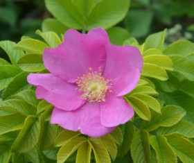 Pink poppy flower microspur Stock Photo