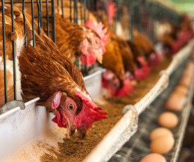 Poultry farms Stock Photo 01