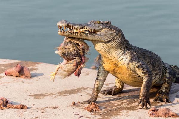 Predator crocodile Stock Photo free download