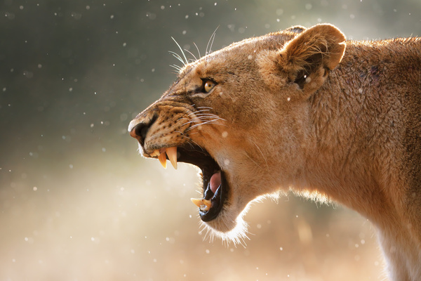 Roaring lioness HD picture