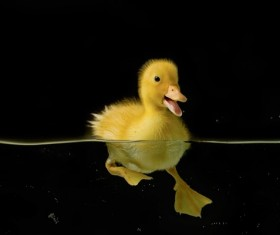 Small yellow duck swimming Stock Photo
