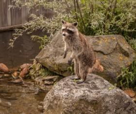 Standing little raccoon Stock Photo