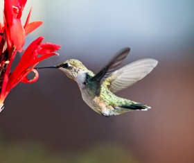 Sucking nectar hummingbirds Stock Photo